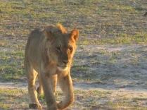"Sayin"" I'm Lion?"